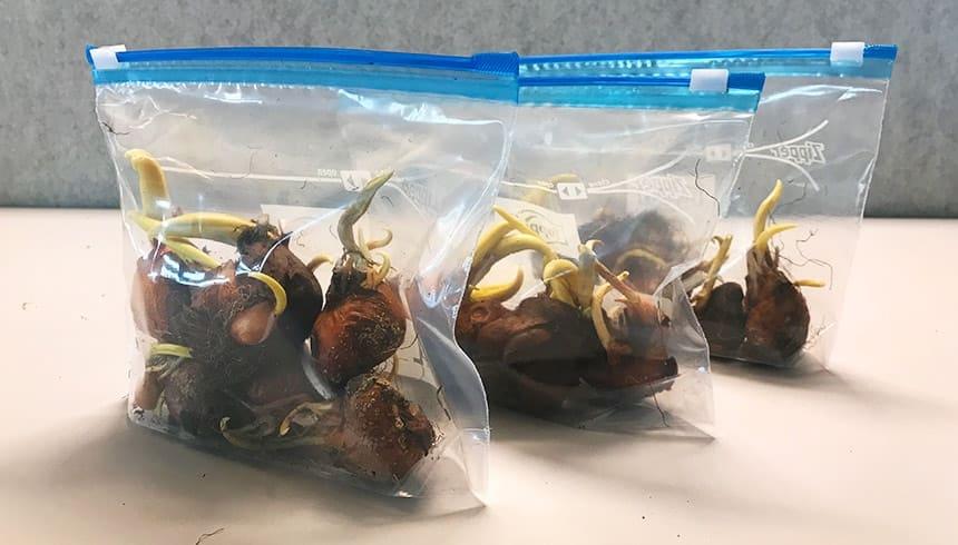 Blumenknollen im Zipper® - bereit für den Winter